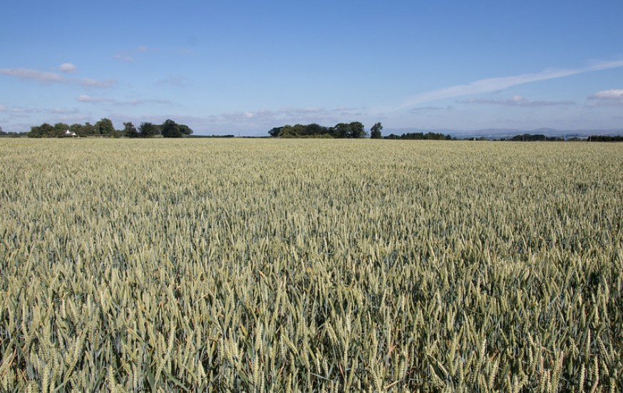 Image showing a crop field of wheat.