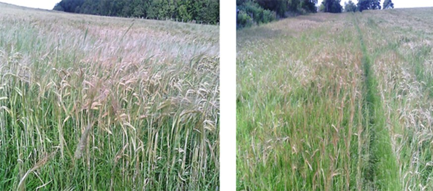 EFA catch crop – barley under sown with grass