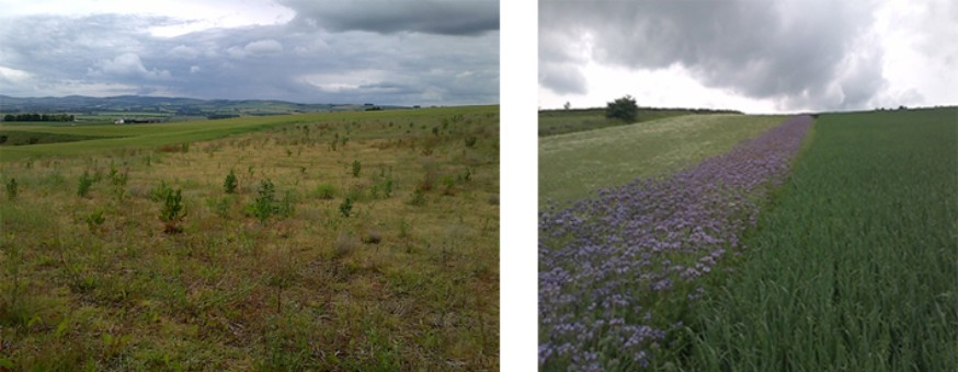 EFA fallow – example of natural regeneration (left) and EFA fallow – example of wildflower mix (two species) (right)