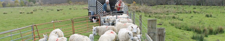 Sheep at market - picture copyright : Alan Fraser